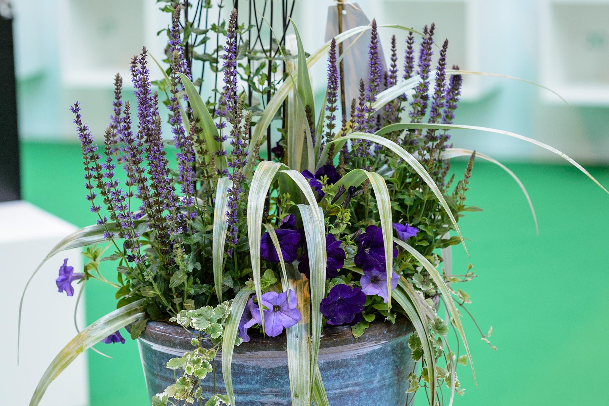 Container planted with Salvia nemerosa, Salvia caradonna, purple petunia, Astelia and Glecoma hederacea
