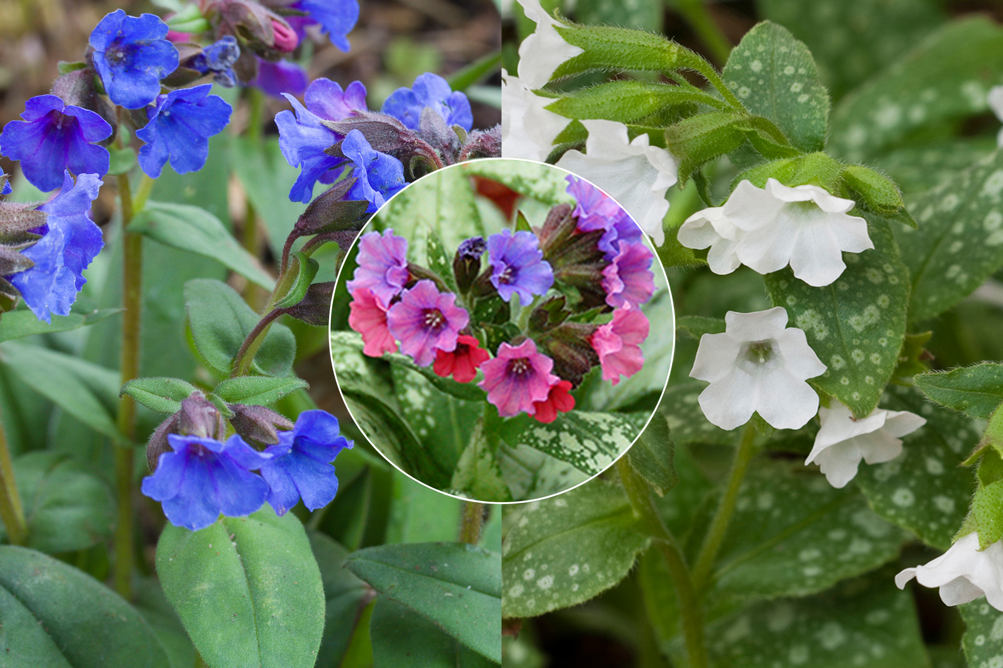 hayloft-pulmonaria-collection