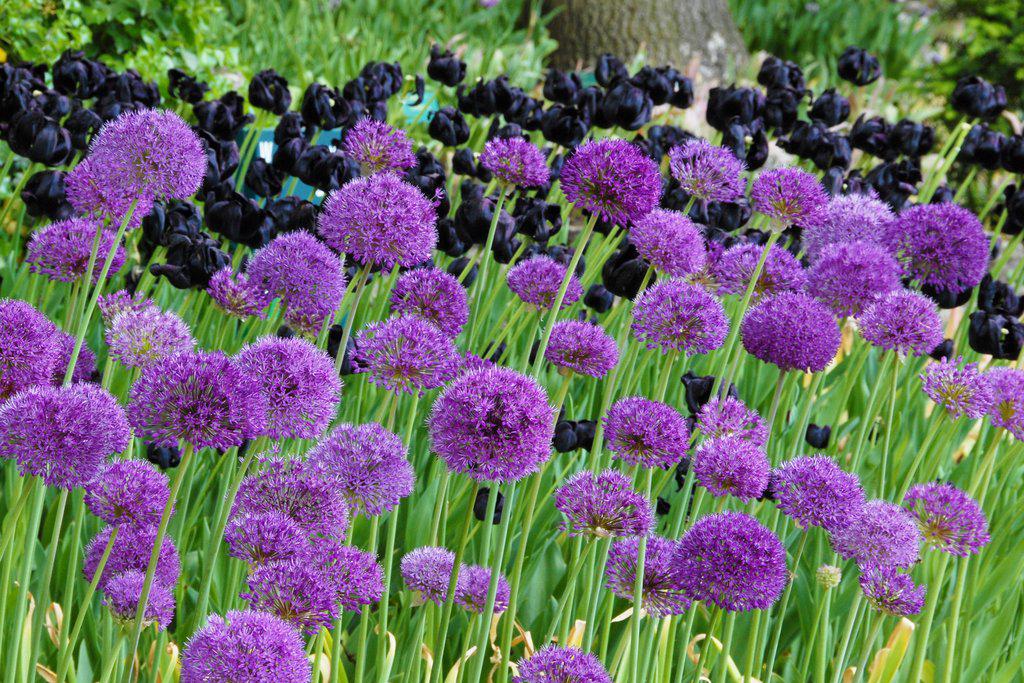farmer-gracy-allium-sensation-autumn-planting