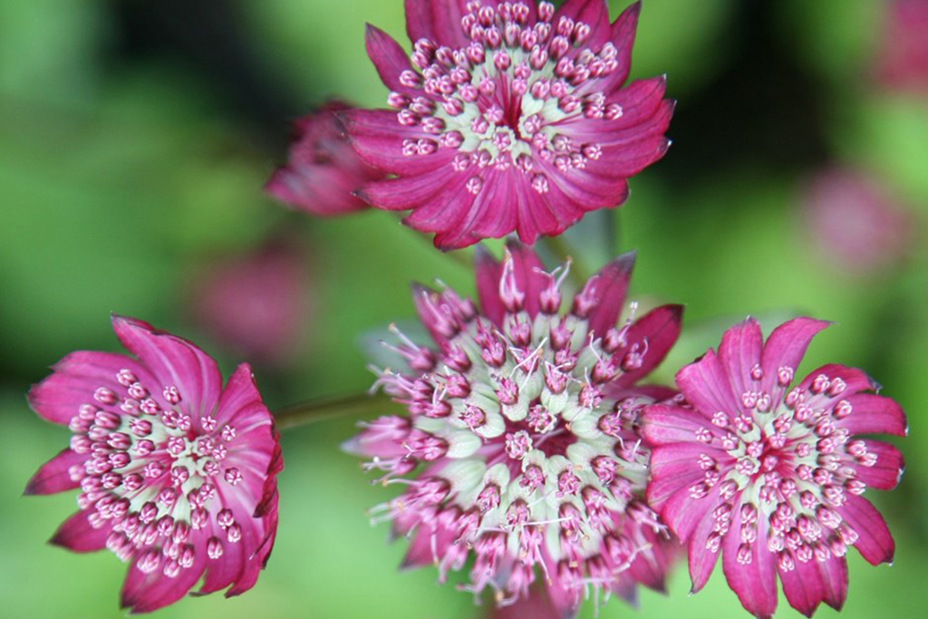 astrantia-shade-tolerant-perennials