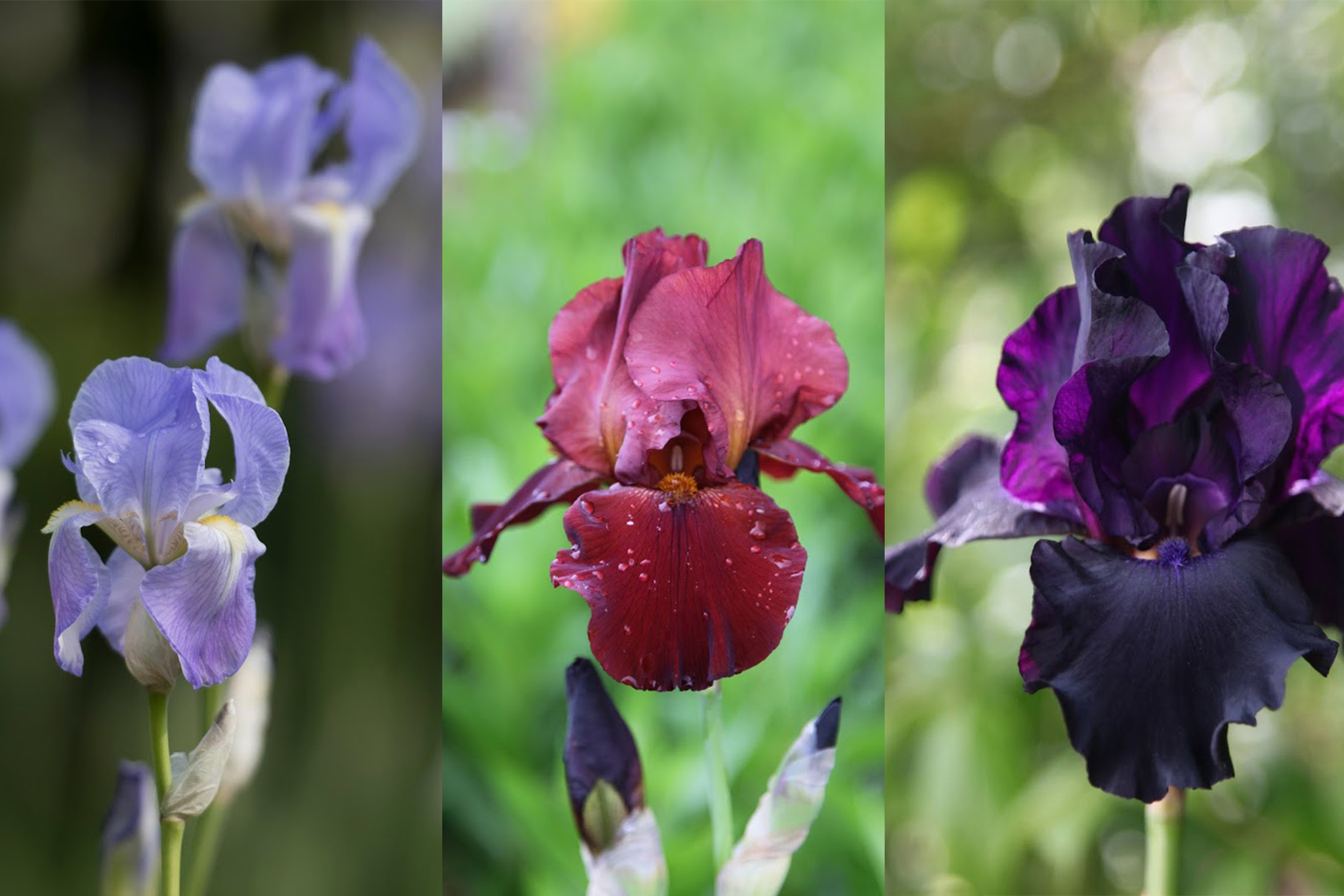 save-15-per-cent-irises