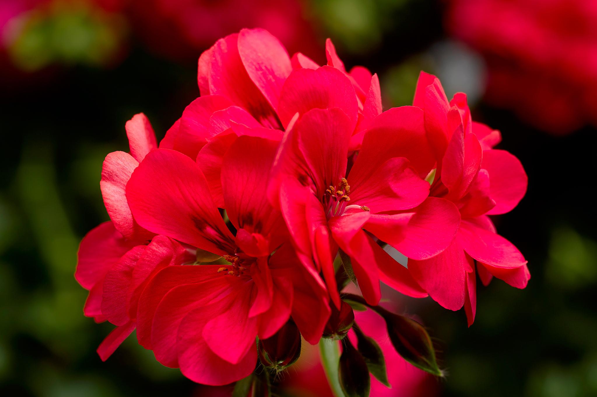hayloft-temprano-geranium-collection-half-price