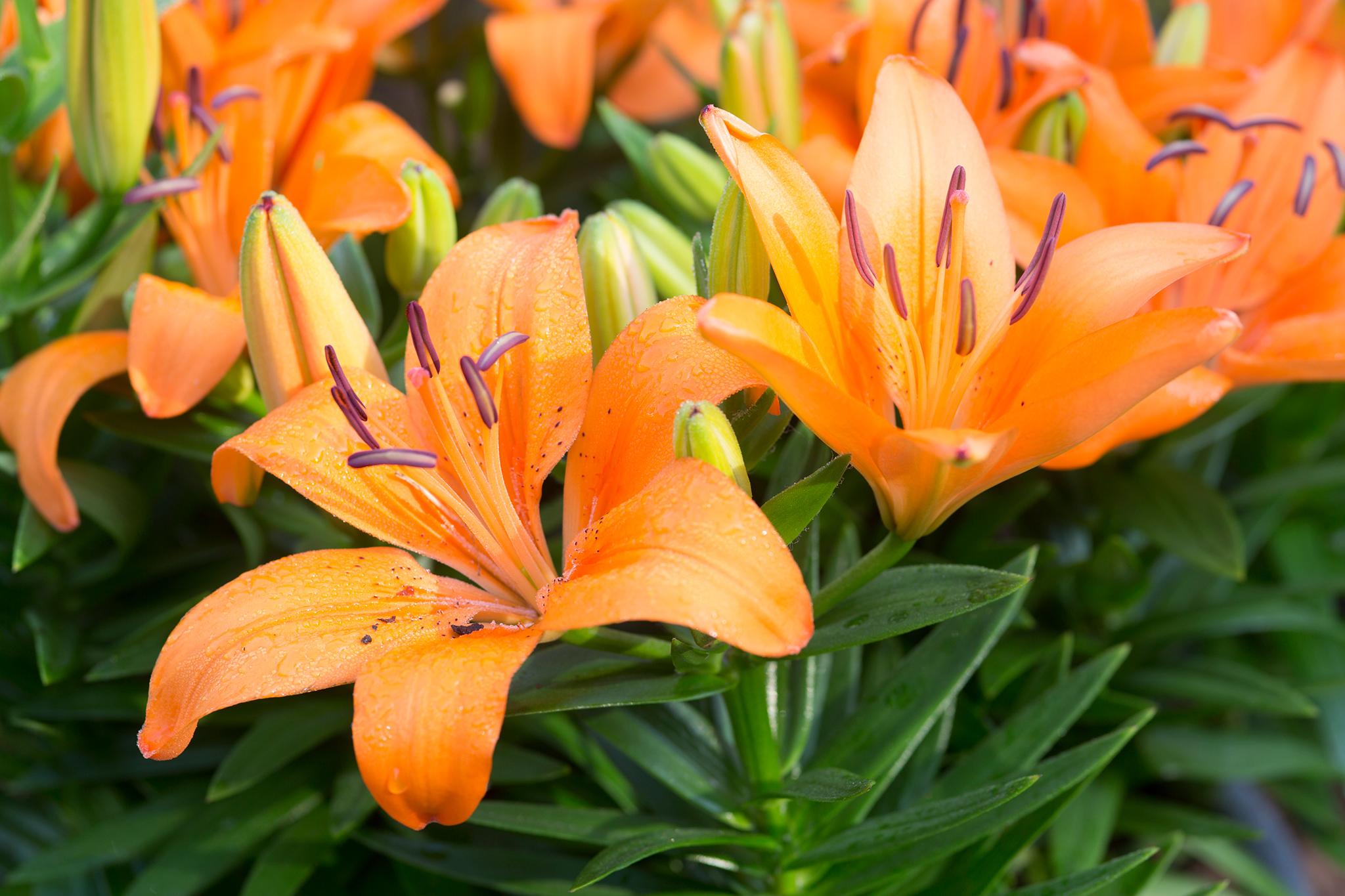 Lilium Orange Pixie Gardenersworld