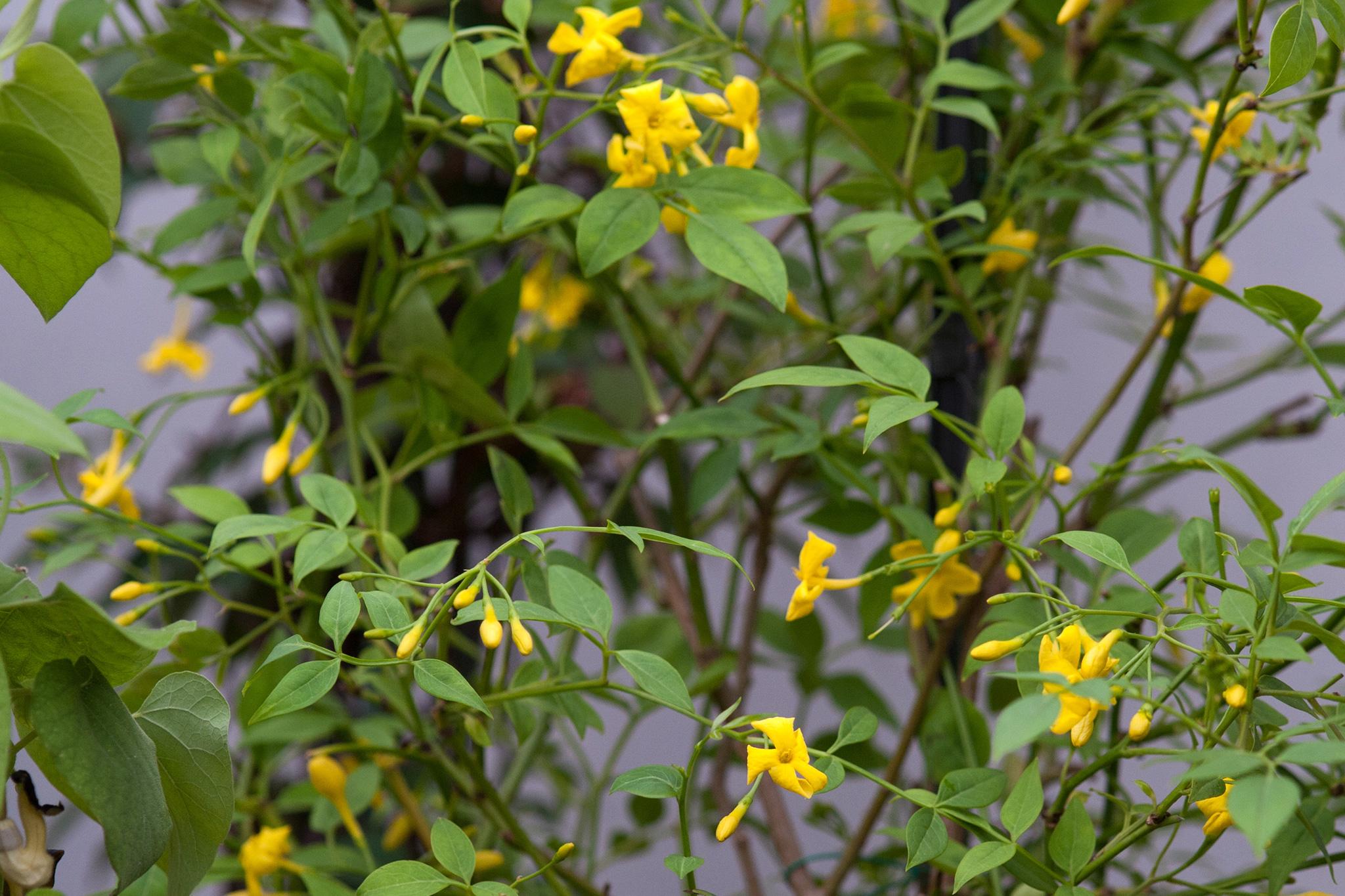 Jasminum humile revolutum gardenersworld izmirmasajfo