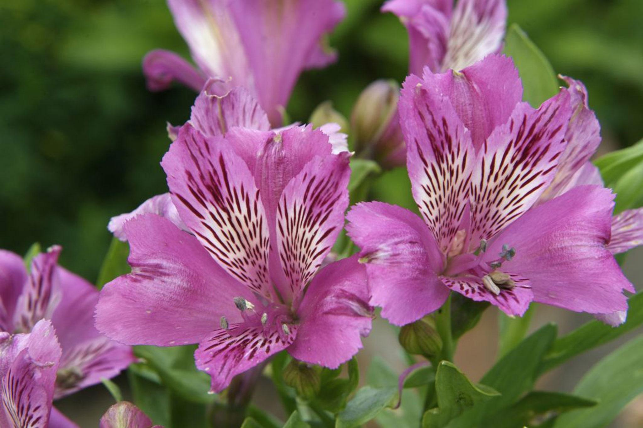 Alstroemeria neptune gardenersworld izmirmasajfo