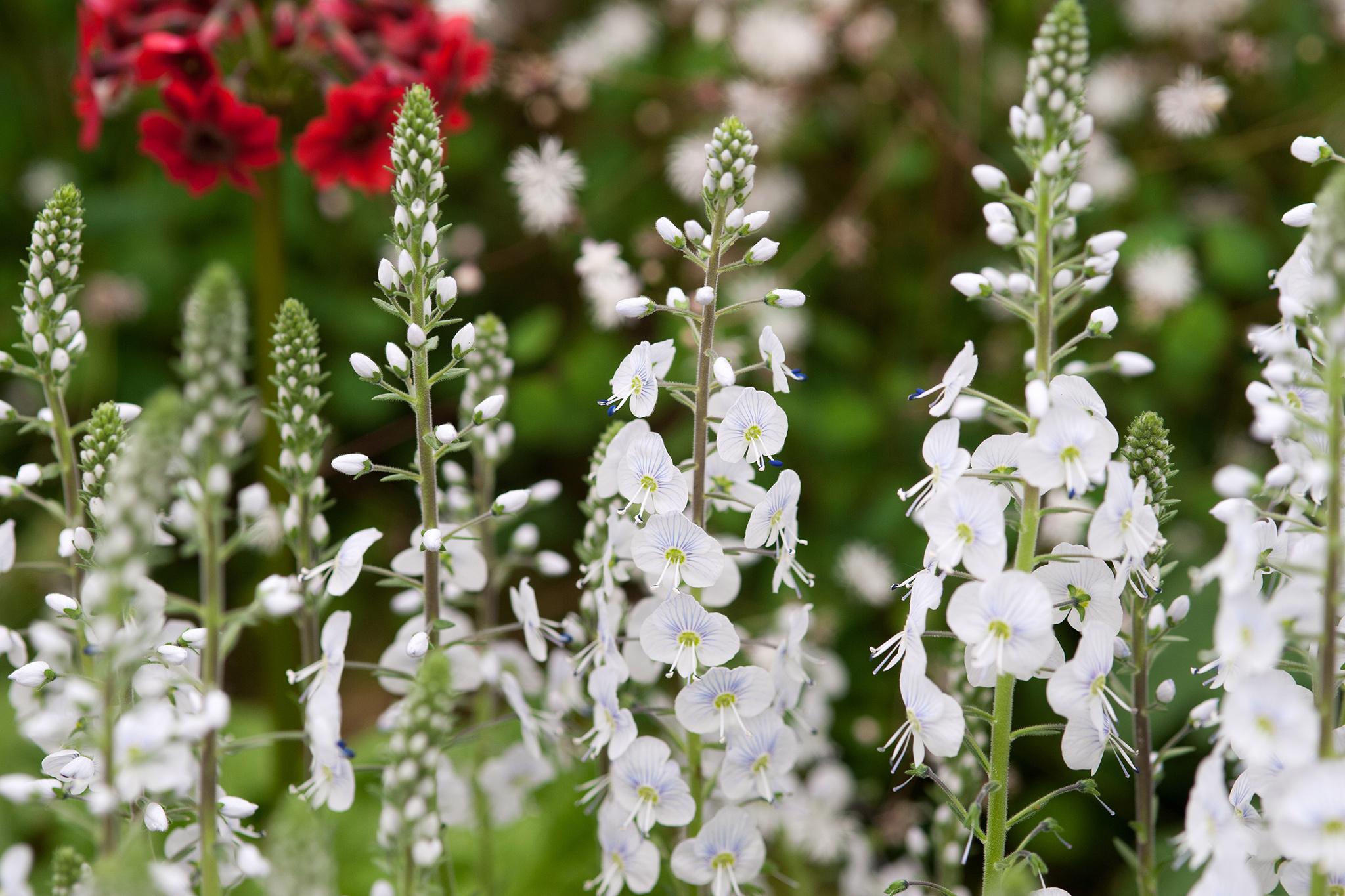 Veronica Gentianoides Tissington White Gardenersworld