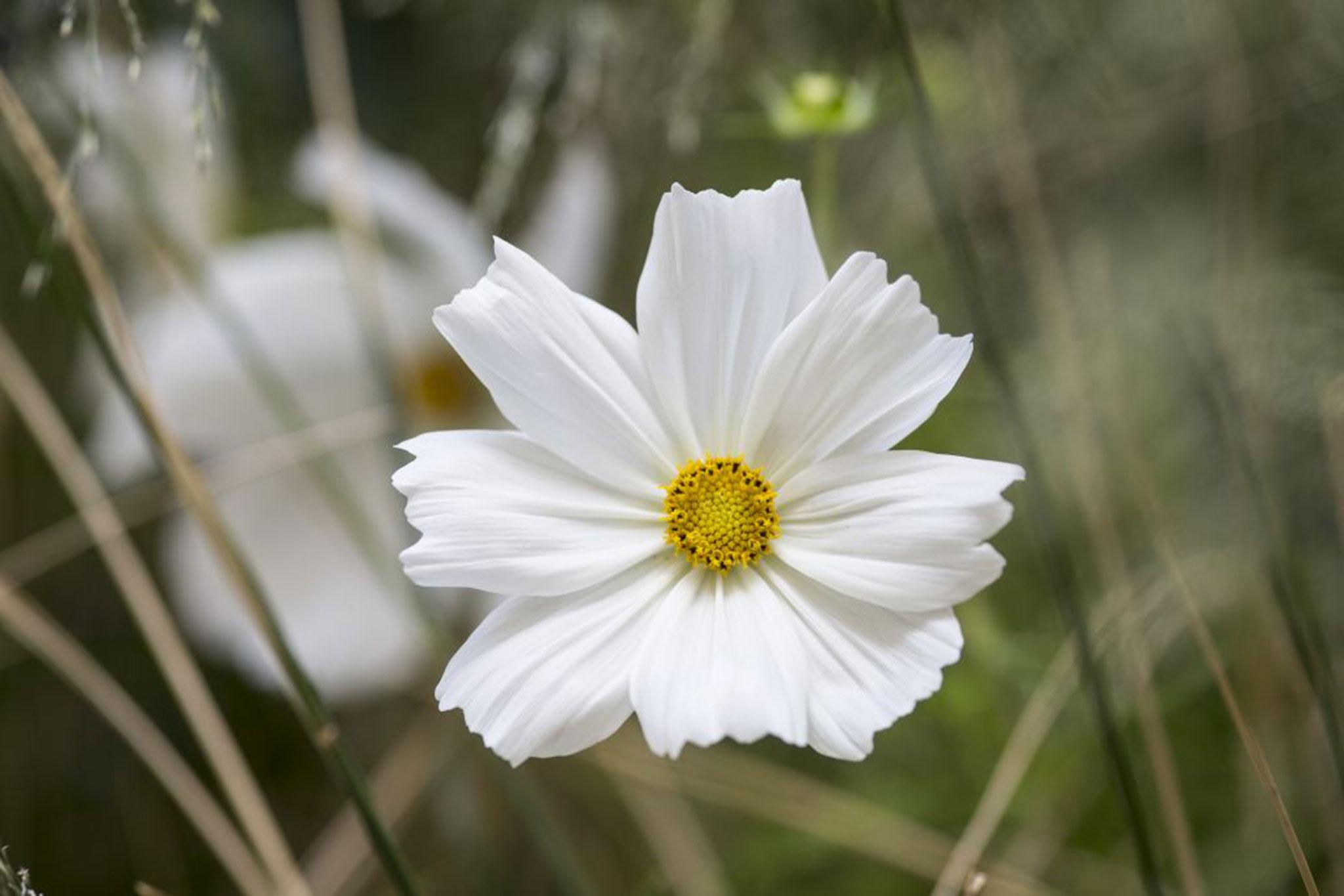 Cosmos Bipinnatus Sonata White Gardenersworld