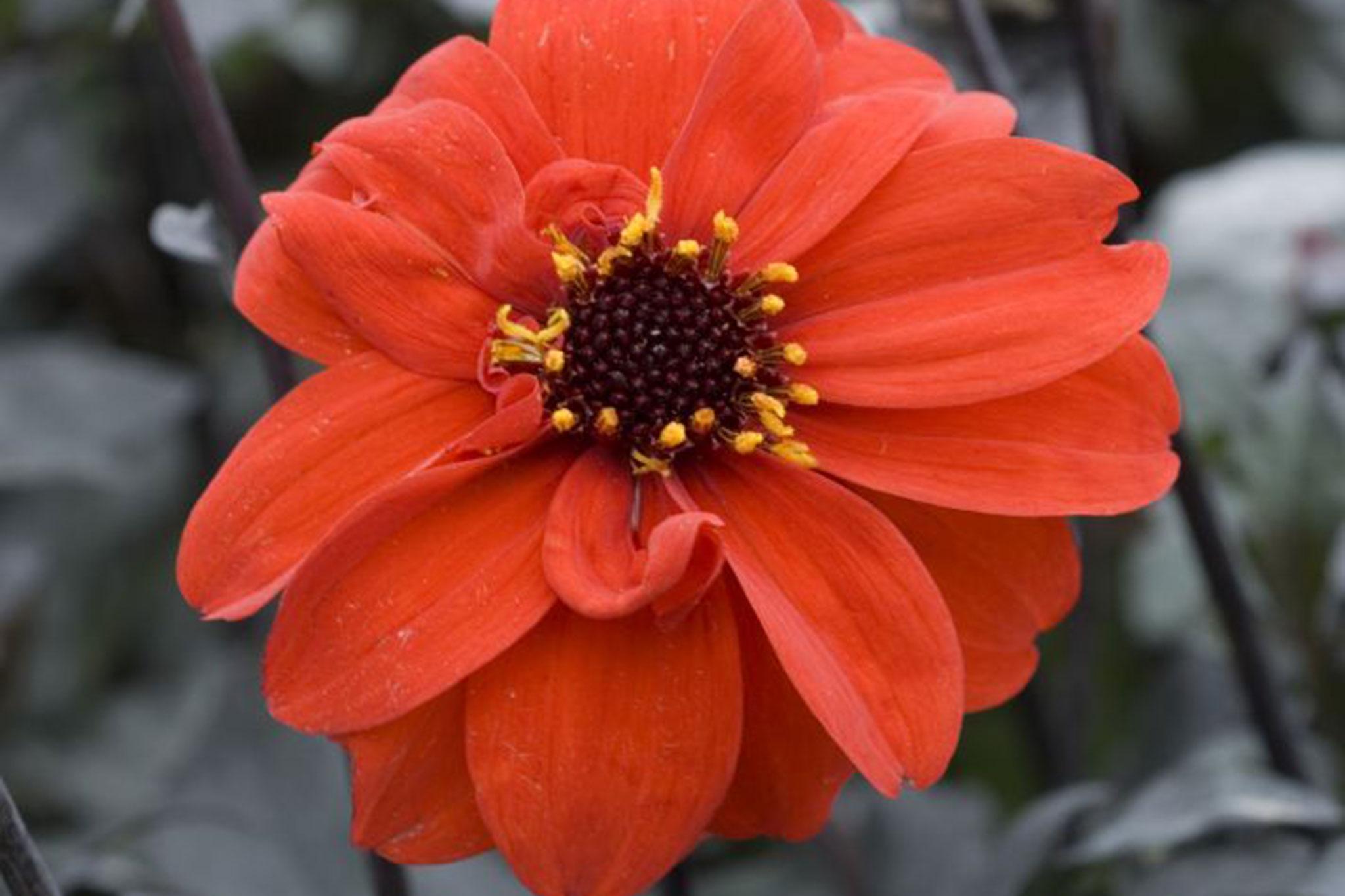 Dahlia Tally Ho Gardenersworld
