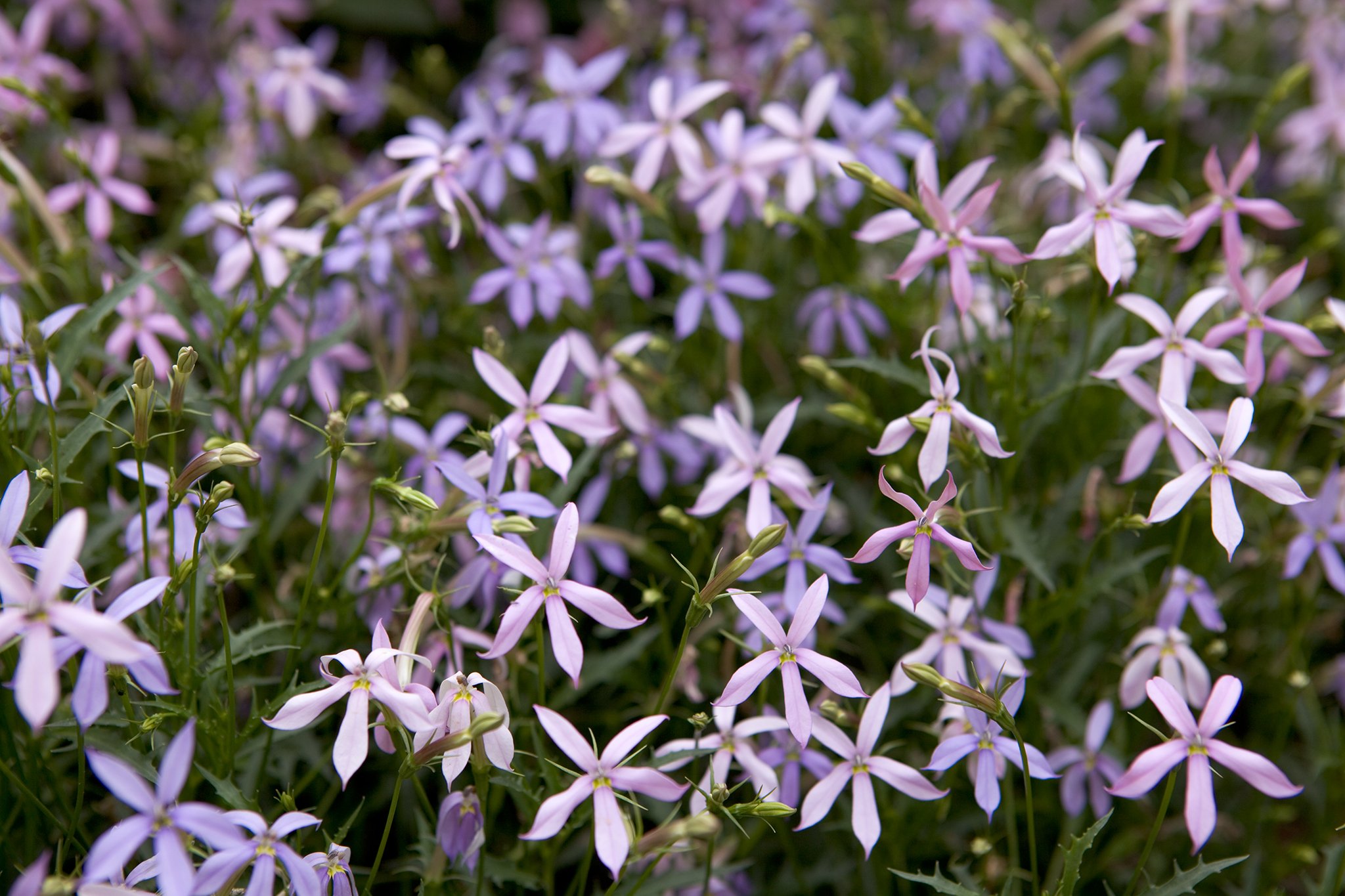 Isotoma Axillaris Blue Star Gardenersworld