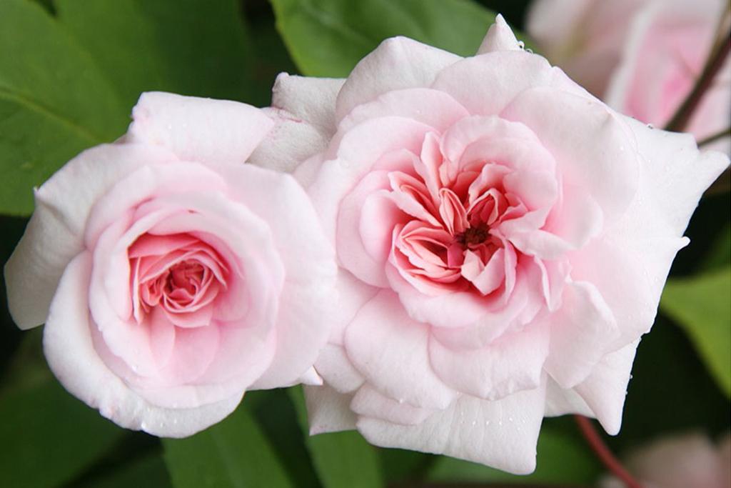 crocus-save-10-per-cent-roses-1024-683