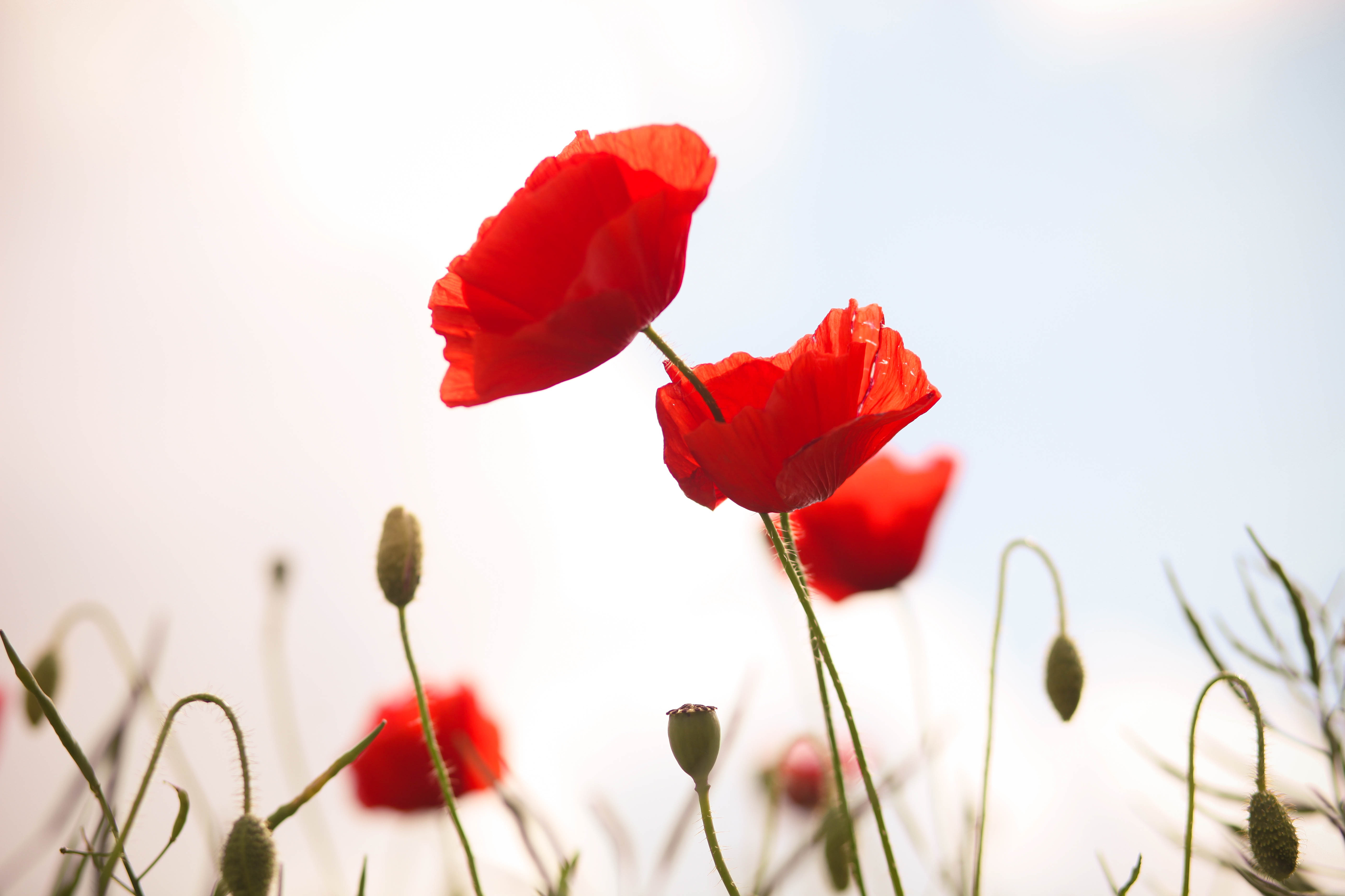 Ten Facts You Probably Didnt Know About Poppies Gardens Illustrated