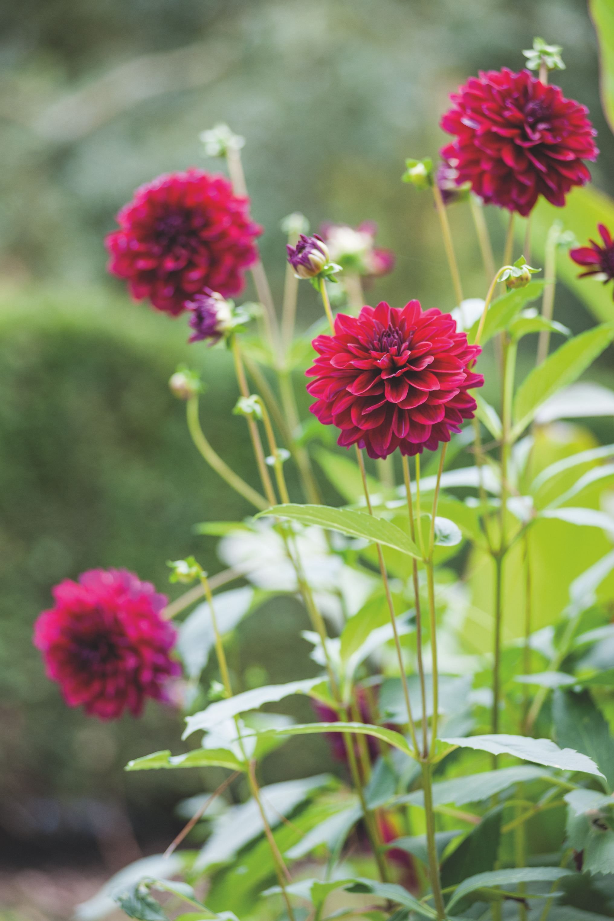 10 Things You Possibly Didnt Know About Dahlias Gardens Illustrated