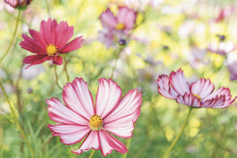 Grow these gorgeous cosmos gardens illustrated izmirmasajfo