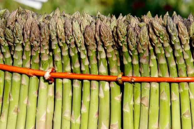 Asparagus grouped together in orange string