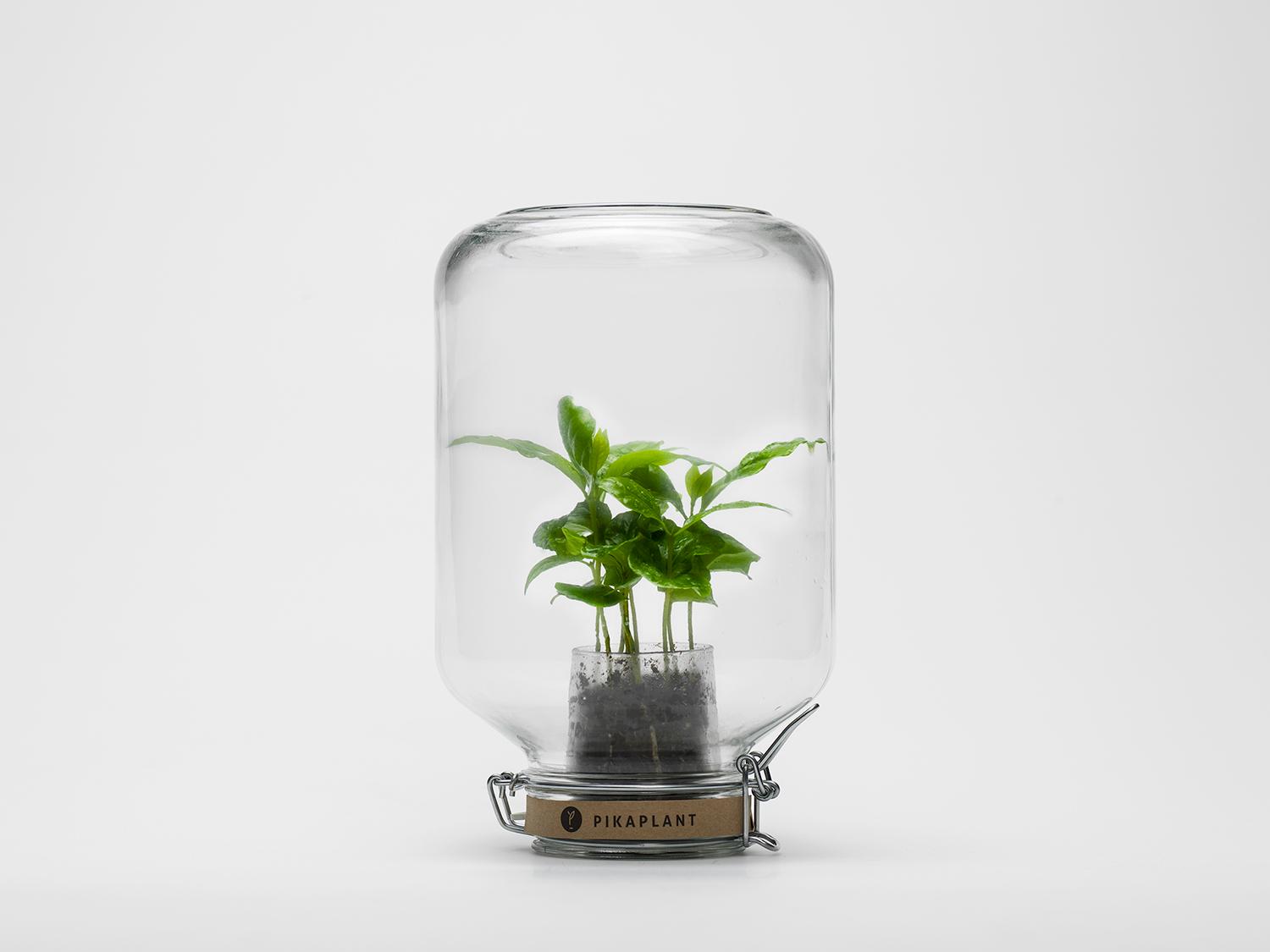 A glass jar which in it contains a green coffee plant