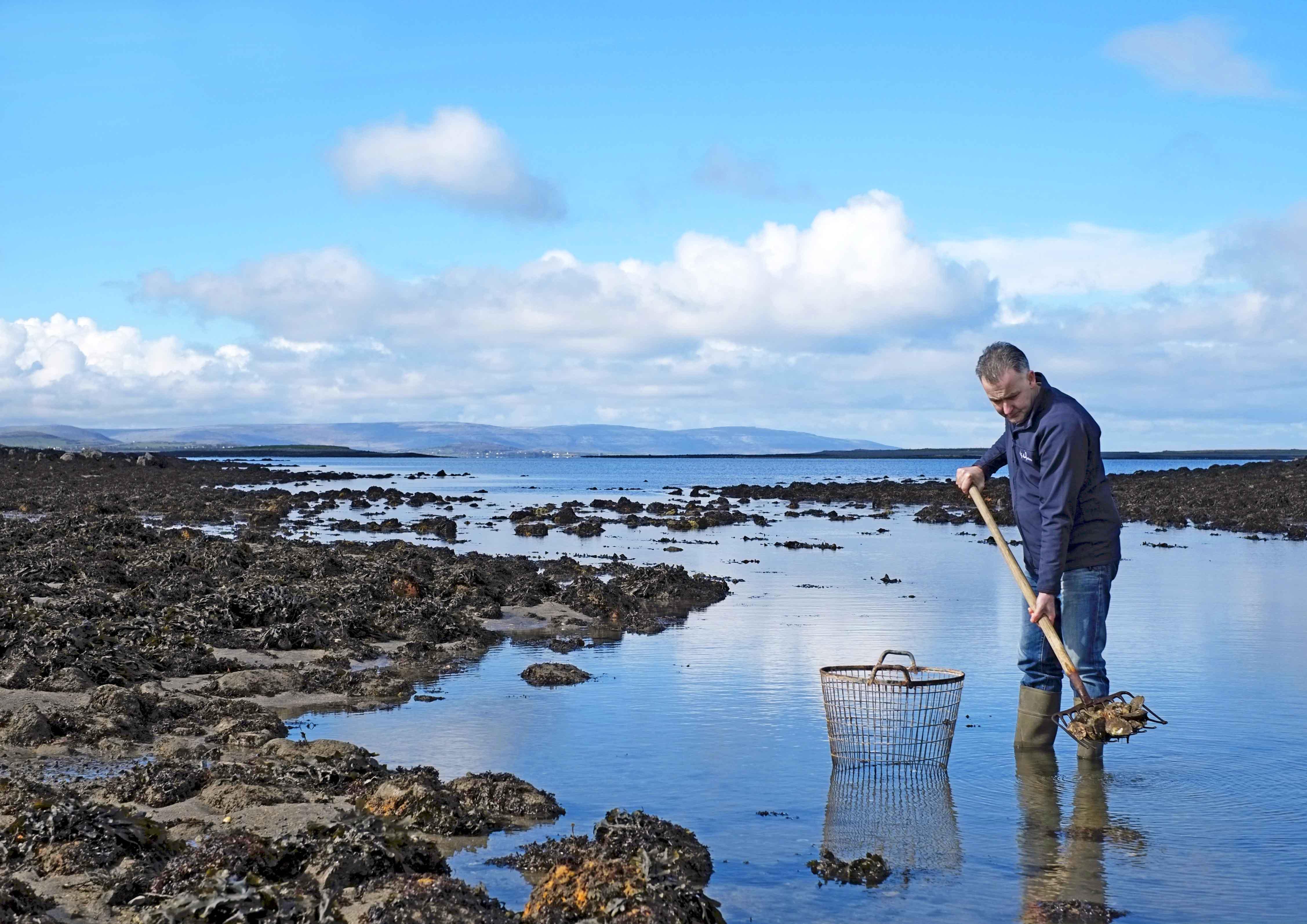 Diarmuid Kelly harvesting native oysters in Clarinbridge