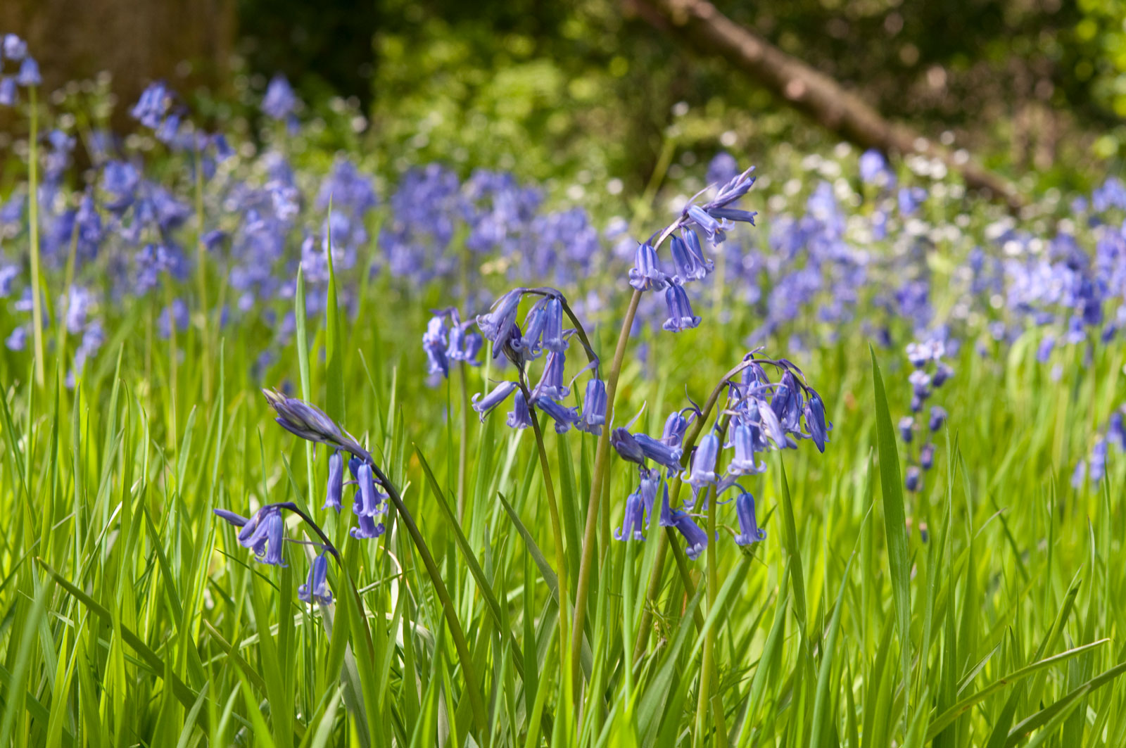 Bluebells Guide Where To See Best Walks Around The Uk And How To