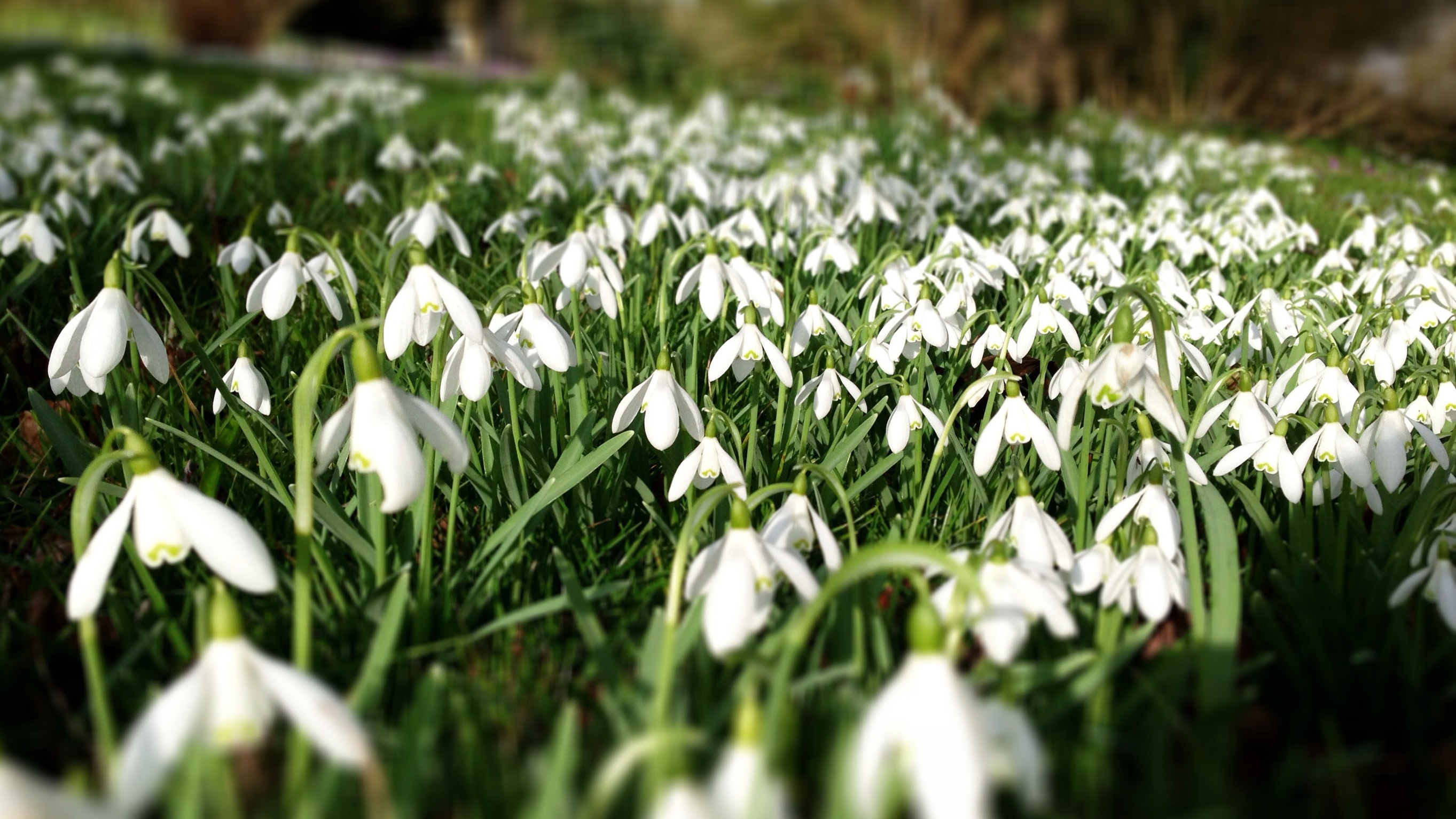 When snowdrops bloom 78