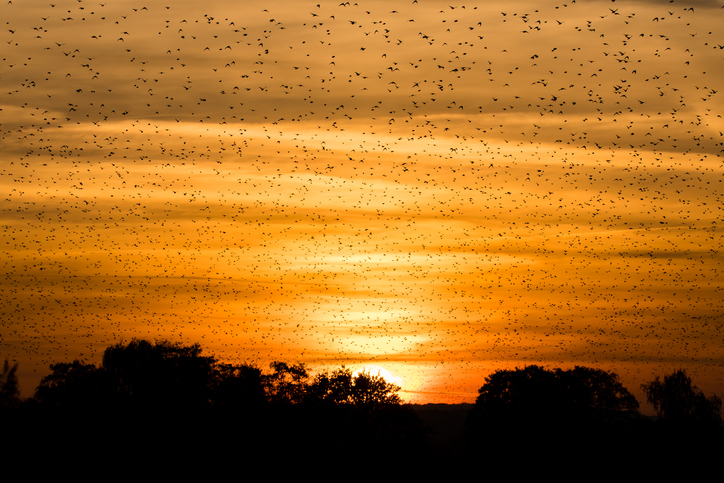 The science behind starling murmurations