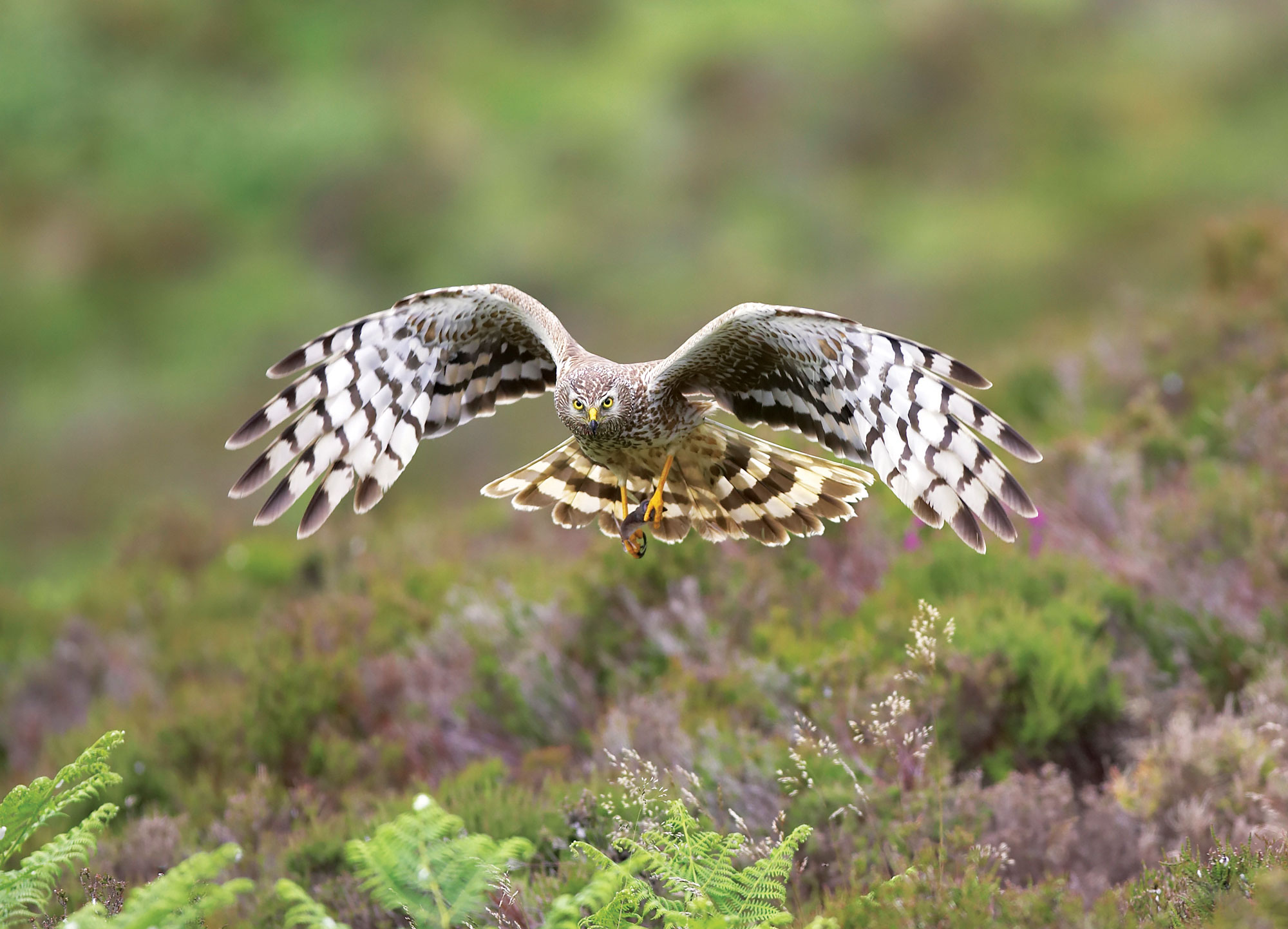Behind the headlines: why are birds of prey under attack?