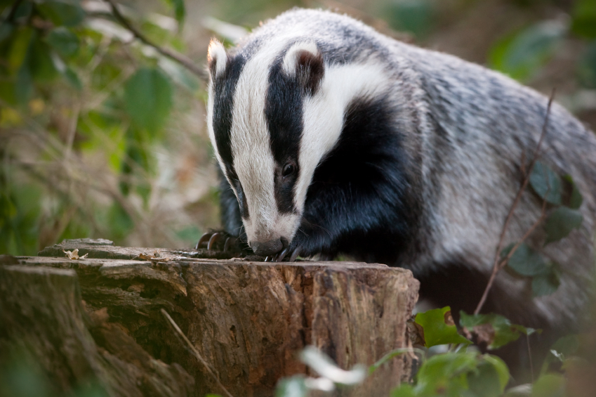 Culling badgers has a 'modest' effect on bTB but poor farming practices are 'severely hampering disease control' says new report