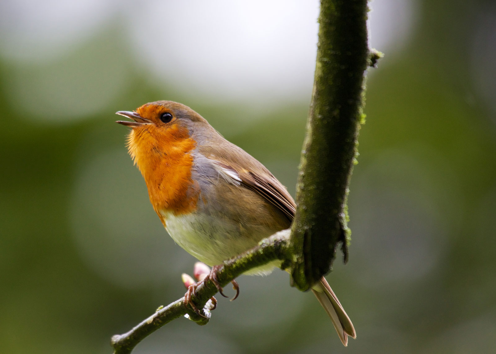 Our Guide To Robins Where To See Top Facts And How To Attract