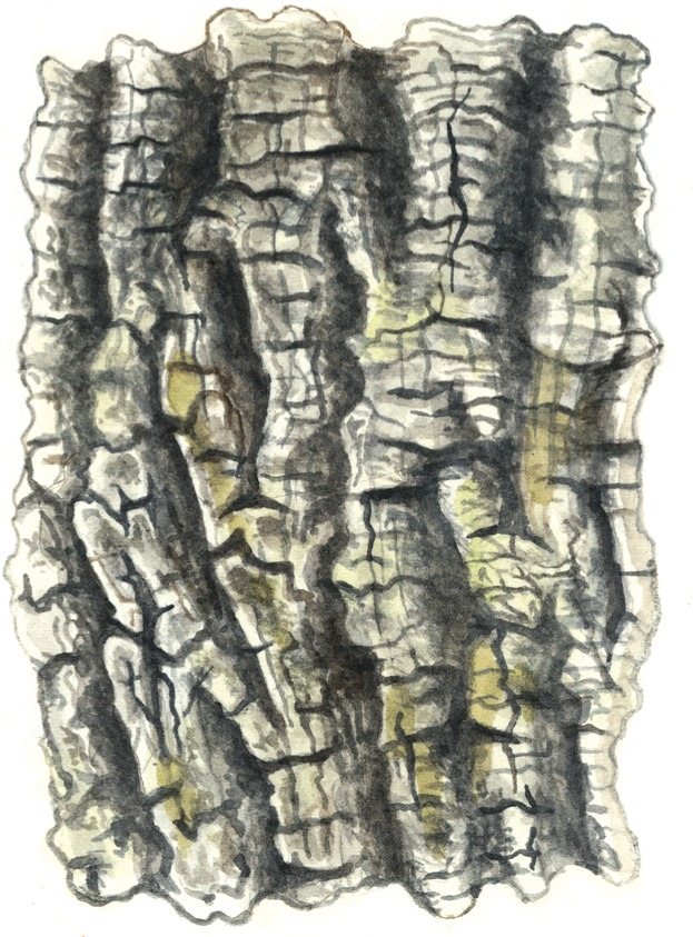 How to identify a tree from its bark