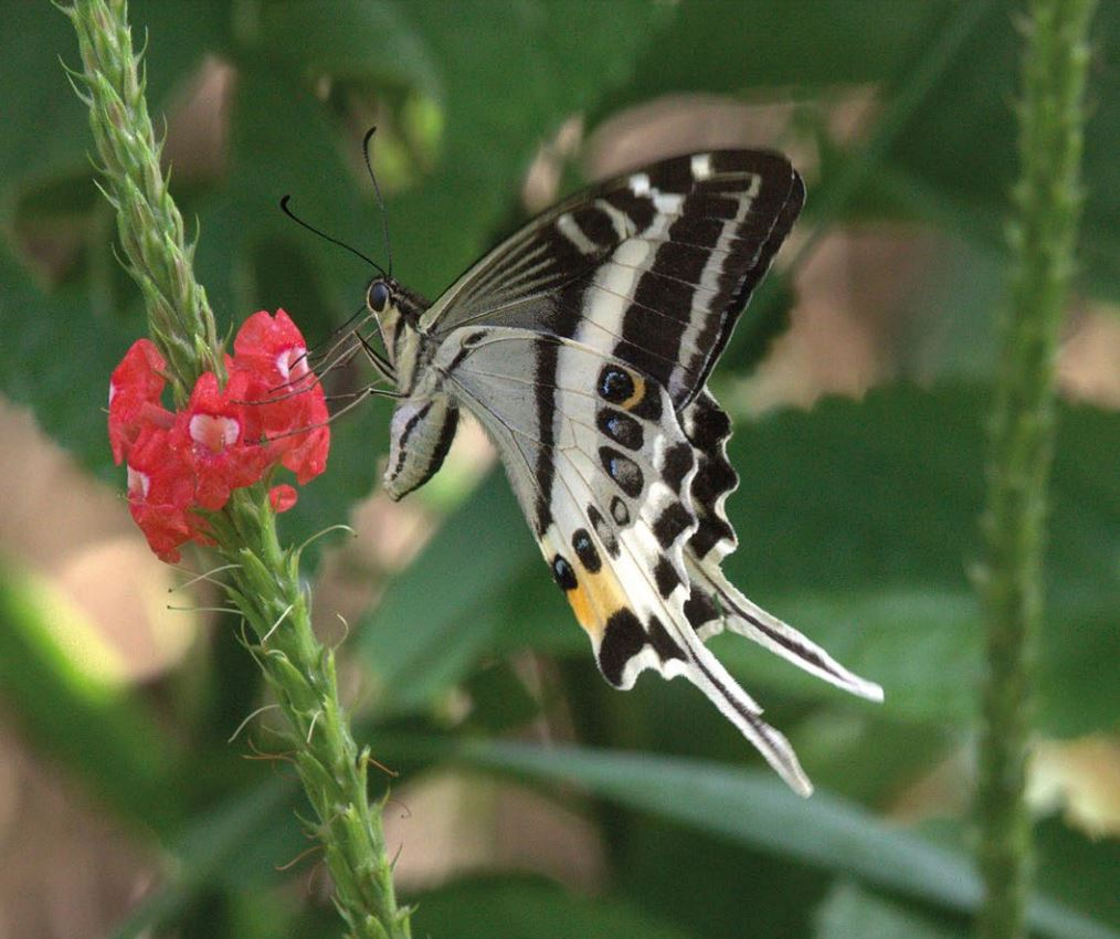 New species of butterfly discovered in Fiji