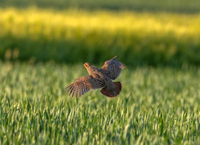 Farmland bird