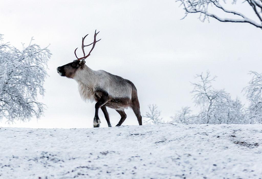 NENETS AUTONOMOUS AREA, RUSSIA - NOVEMBER 24, 2016: A reindeer at the Kharp reindeer farm in the village of Krasnoye. Anton Taibarei/TASS (Photo by Anton TaibareiTASS via Getty Images)