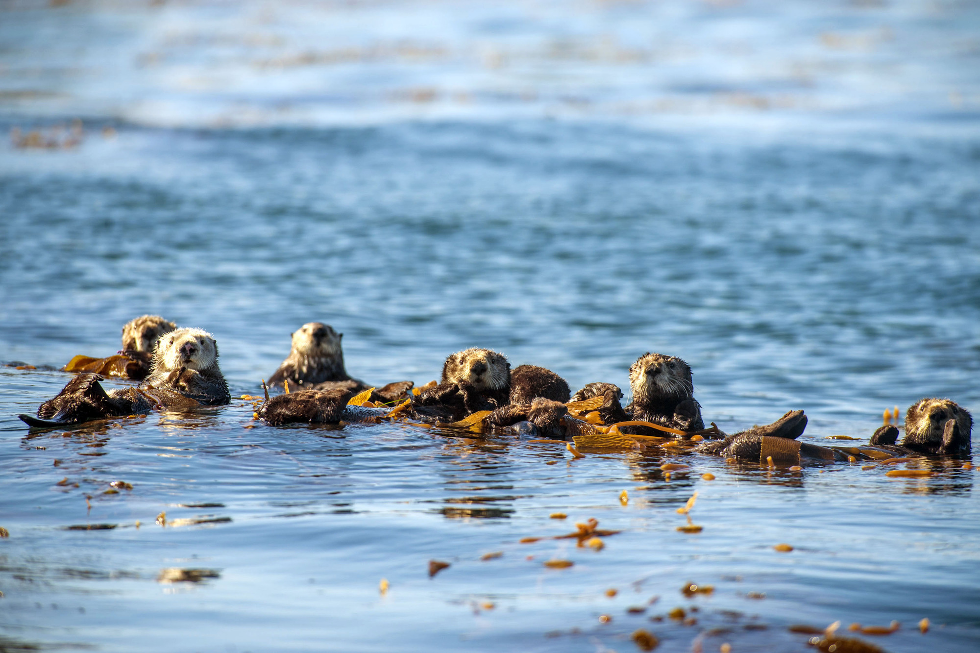 Sea otters (Enhydra lutris), Monterey Bay, California, USA. Sea otters must eat around 30% of their body weight every day but, when not hunting, they rest by floating on their backs, frequently wrapping themselves in fronds of kelp for better stability (BBC, JG)