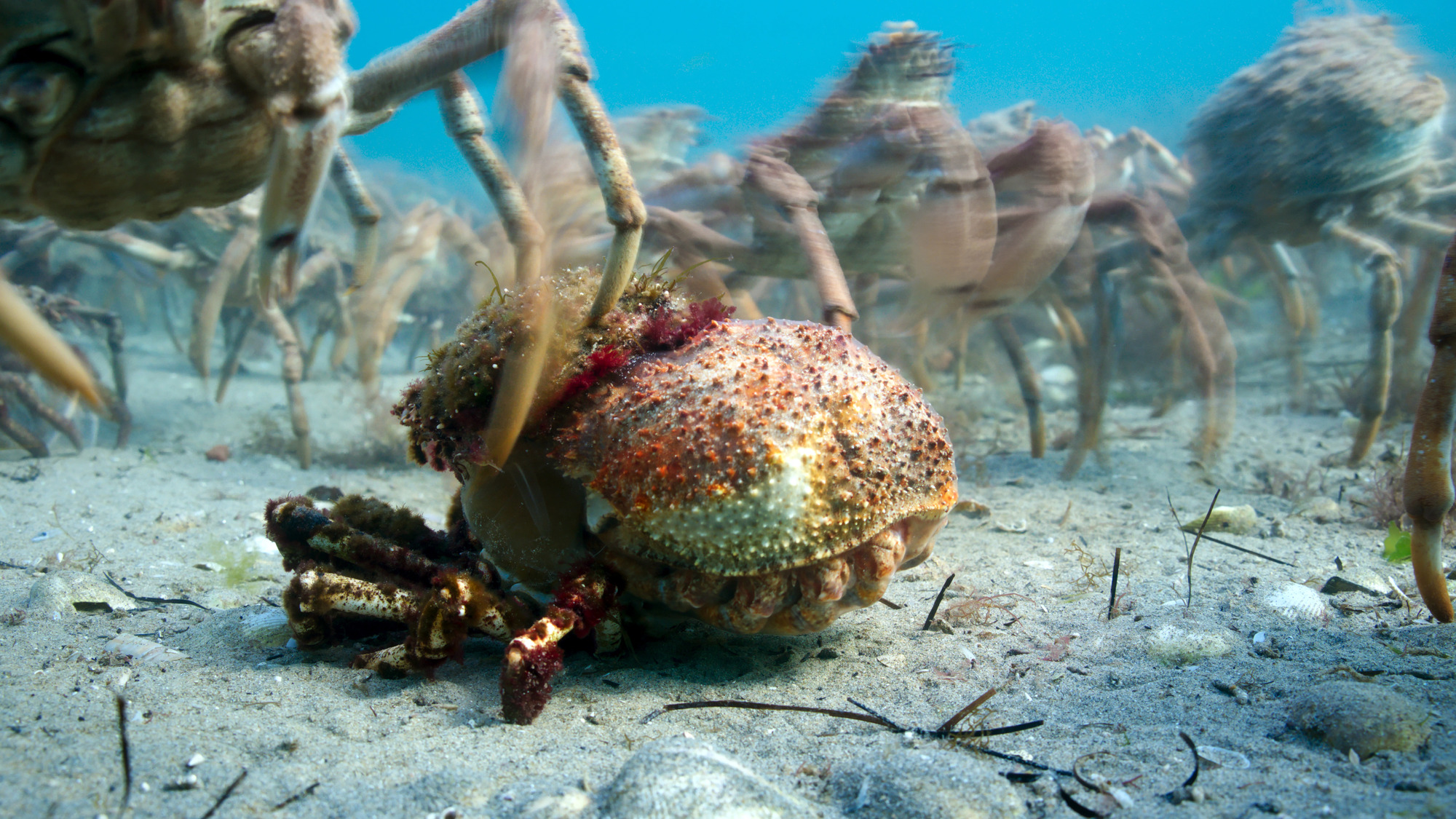 A giant spider crab (Leptomithrax gaimardii) emerging from the shell it has outgrown. Each year, they march into the shallows in great numbers in order to molt before returning to deeper waters (BBC, JG)