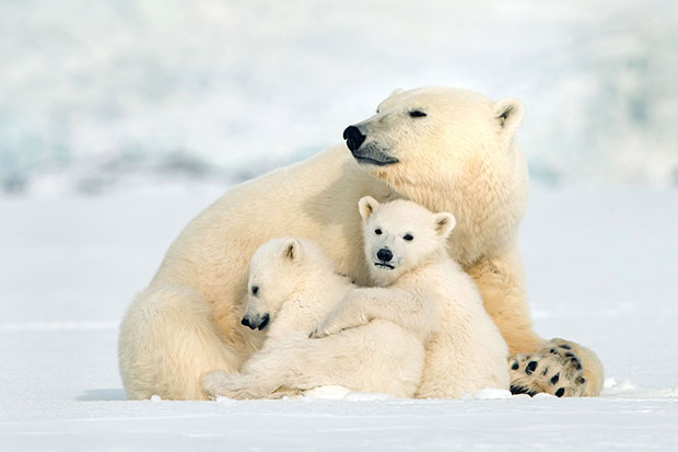 Snow Bears, BBC Pictures, SL
