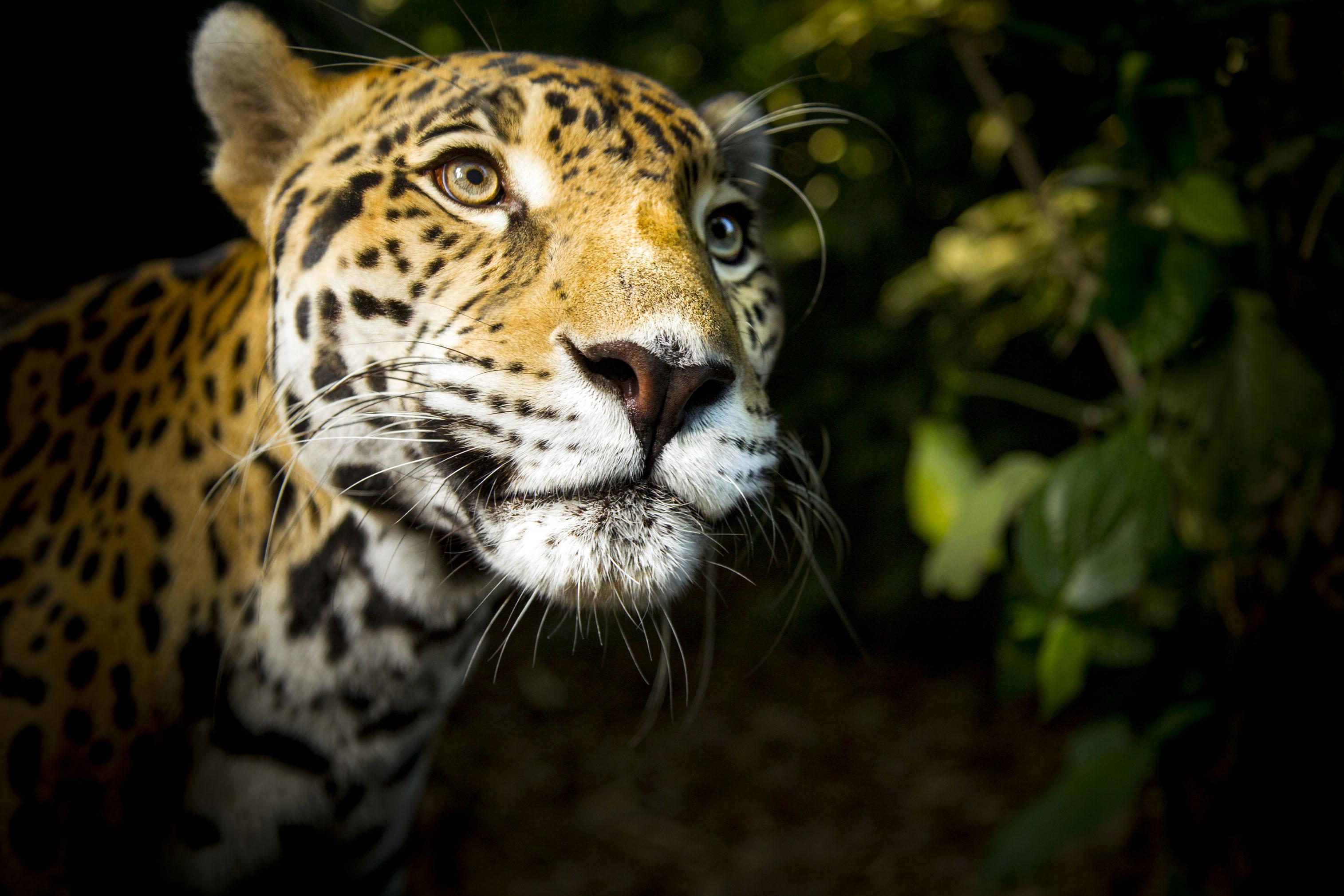 Big Cats (BBC, EH)