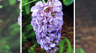 18 wisteria