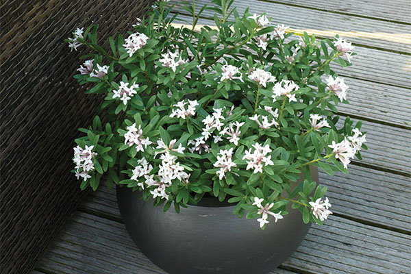 Daphne Eternal Fragrance