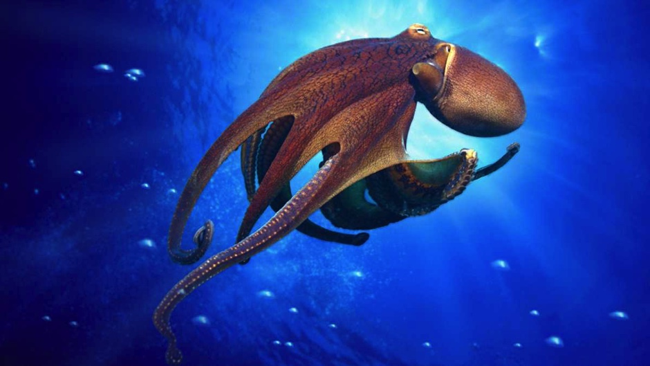 Why does an octopus have more than one heart?