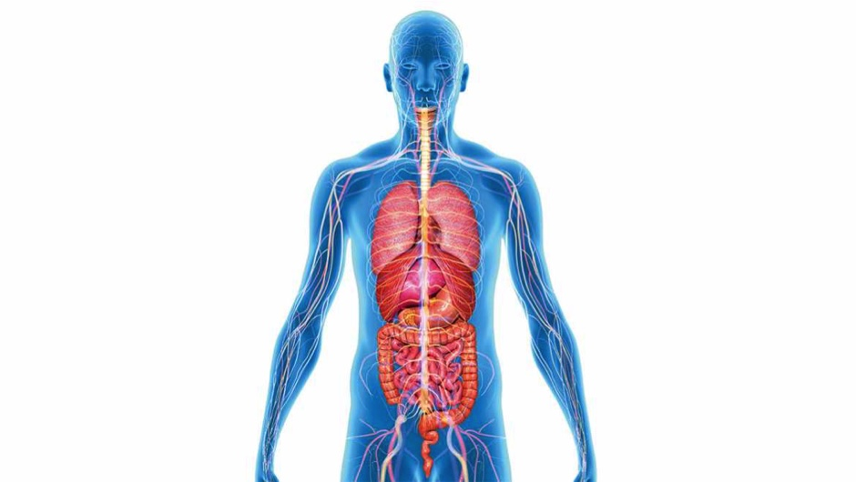 How Many Organs In The Body Could You Live Without Science Focus