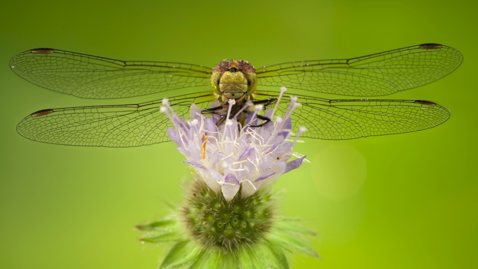 Why do dragonflies have four wings instead of two?