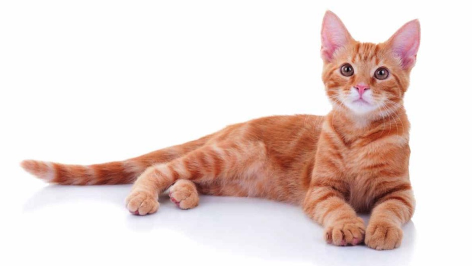 Is it true that most ginger cats are male?