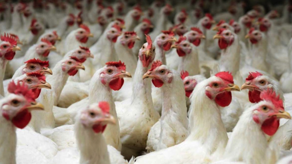How free-range are free-range chickens?
