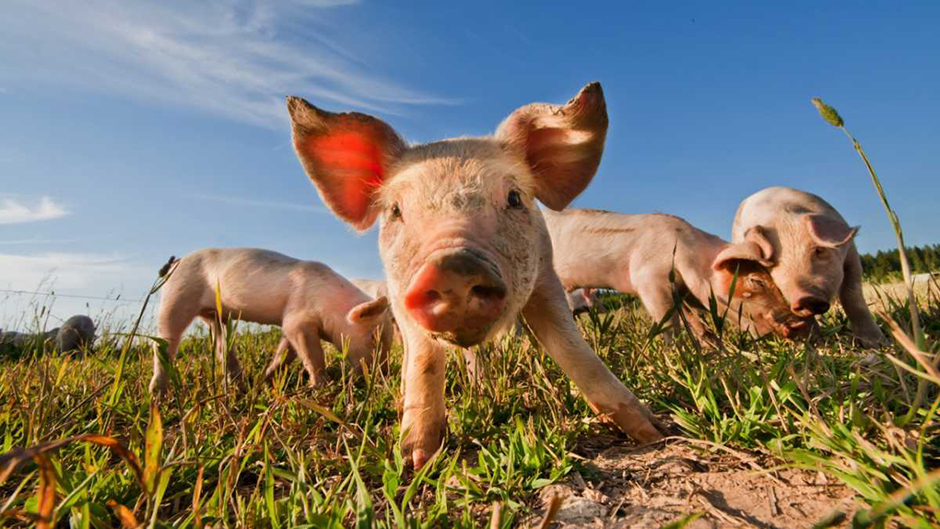 Down on the farm: 6 unusual studies on our favourite livestock
