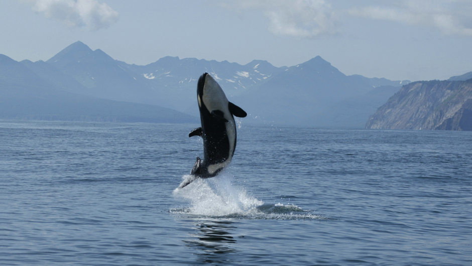 Why orcas are more 'caring' than 'killer' whales