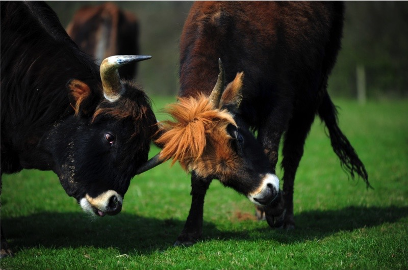 BATNFN Heck Cattle, pictured at Upcott Grange Farm, near Lifton, Cornwall, imported by Derek Gow.. Image shot 2009. Exact date unknown.