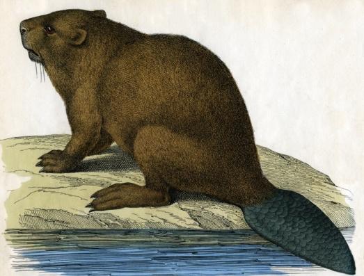 Beaver-tail_0-d5b8be2
