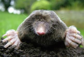 Close-up_of_mole-f307d97