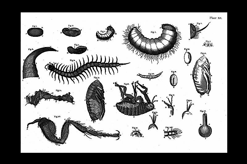 Drawings of a variety of insects.