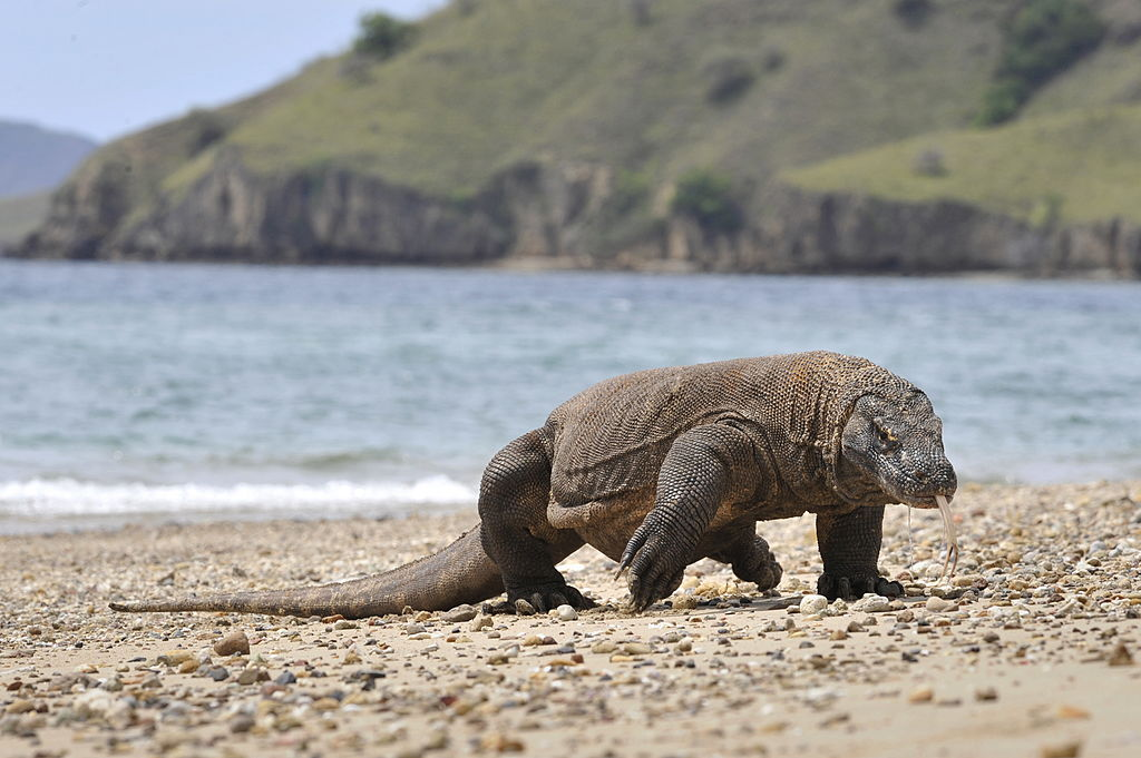 "In this photograph taken on December 2, 2010 a Komodo dragon prowls the shore of Komodo island, the natural habitat of the world's largest lizard. Indonesia has declared the islands a national park in 1980 to protect the the Komodo dragons. The islands of Komodo and Rinca and surrounding smaller islands comprises Komodo National Park that is located in East Nusa Tenggara province. Park authorities estimate about 2,700 Komodo dragons live in the nature reserve that has been declared UNESCO ""World Heritage Site."" The carnivorous lizards, feeding on water buffalos, deers and wild boars, can grow three meters in length and weigh more than 150 kilograms, has known to have existed in this few islands for millions of years. AFP PHOTO / ROMEO GACAD (Photo credit should read ROMEO GACAD/AFP/Getty Images)"