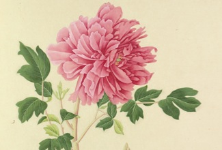 Watercolour on chinese paper identified as 'Paeonia suffruticosa, rose-pink double' by an unknown chinese artist. One of a total of 755 botanical illustrations sent to the RHS by John Reeves (1774-1856) in the 1820's. Reeves worked as a tea inspector in Canton and Macau for the East India Company. He commissioned and supervised the production of this collection for the RHS as well as sending back plant specimens from China