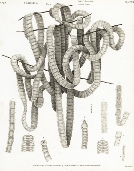 Tapeworm-3bbf7b9